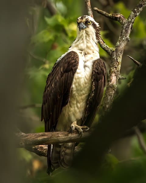 Male Osprey Through Branches
