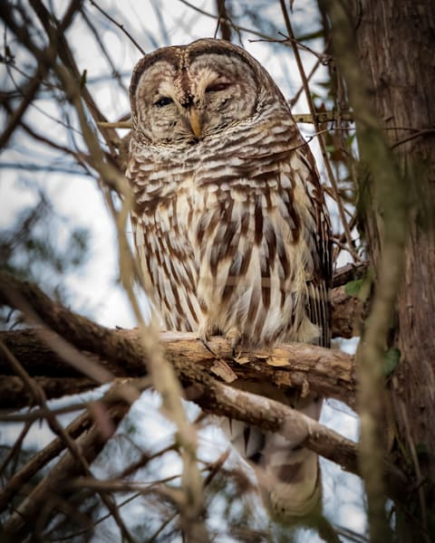 Perched Barred Owl at Huntley Meadows - Square Crop