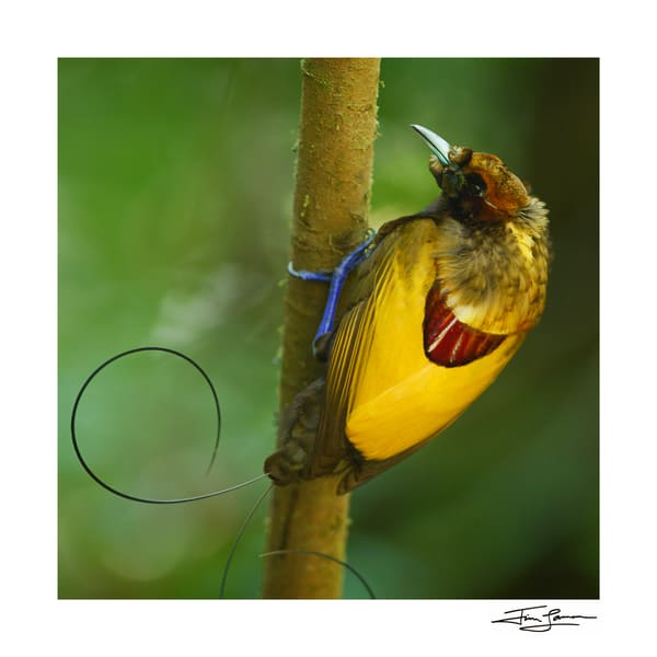 Magnificent bird-of-paradise showing off his yellow back.