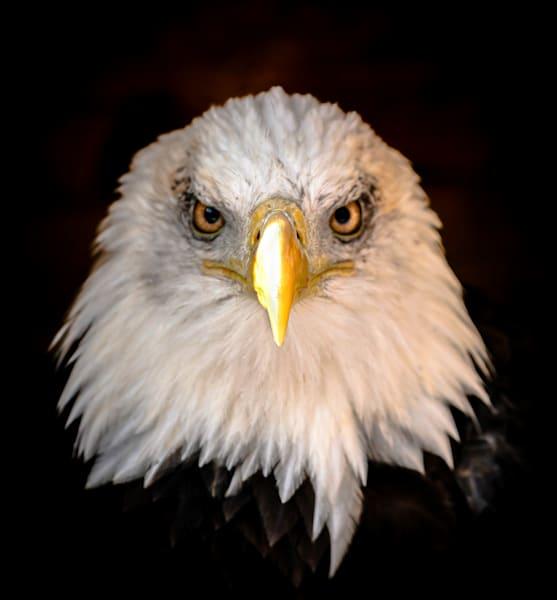 Bald Eagle Photography Art   Ursula Hoppe Photography