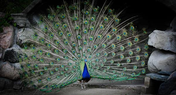 Peacock Photography Art   Ursula Hoppe Photography