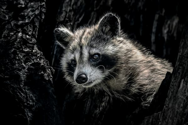 Raccoons, Bison & Others