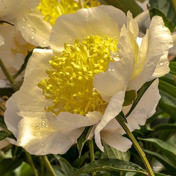 White Petals Lily