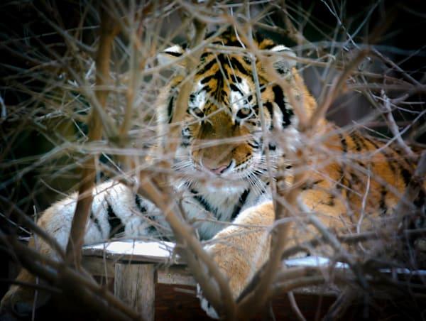 Tiger Photography Art   Ursula Hoppe Photography