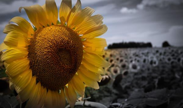 Sunflower Photography Art   Ursula Hoppe Photography
