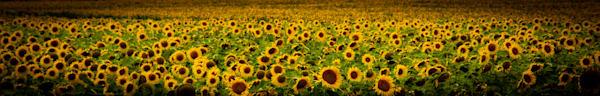 Sunflowers Photography Art   Ursula Hoppe Photography