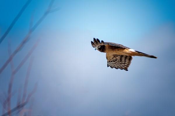 Harris Hawk Under the Wing