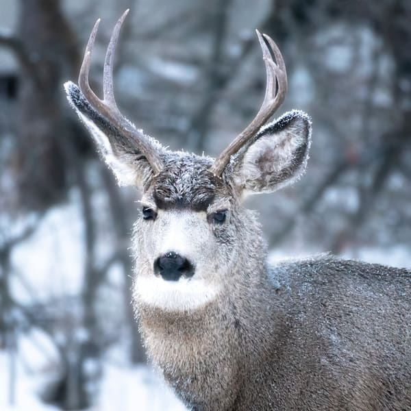 Portrait of a Young Buck