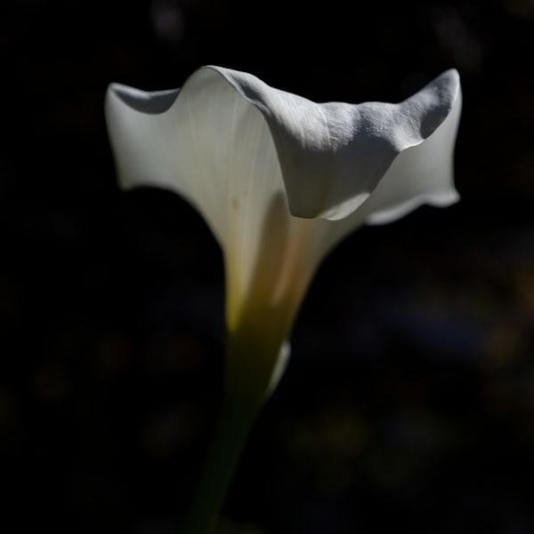 Calla Lily Photography Art   FocusPro Services, Inc.