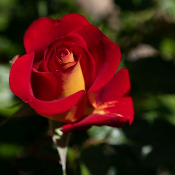 Garden Rose   Red & Orange Photography Art   FocusPro Services, Inc.