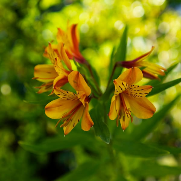 Peruvian Lily Photography Art   FocusPro Services, Inc.