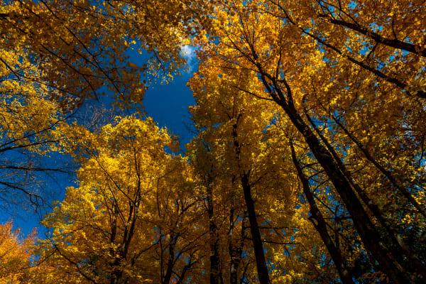 Ontario Autumn, Yellow Gold Magic 2 Photography Art   Rick Vyrostko Photography