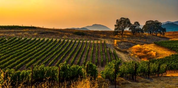 Vineyard At William Hill, Napa Valley Photography Art   Rick Vyrostko Photography