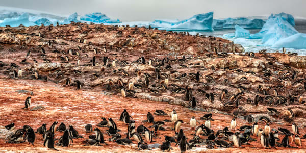 A Penguin Colony Photography Art | Rick Vyrostko Photography