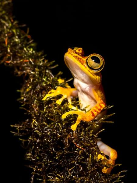 Mashpi Chachi Tree Frog Photography Art | Rick Vyrostko Photography