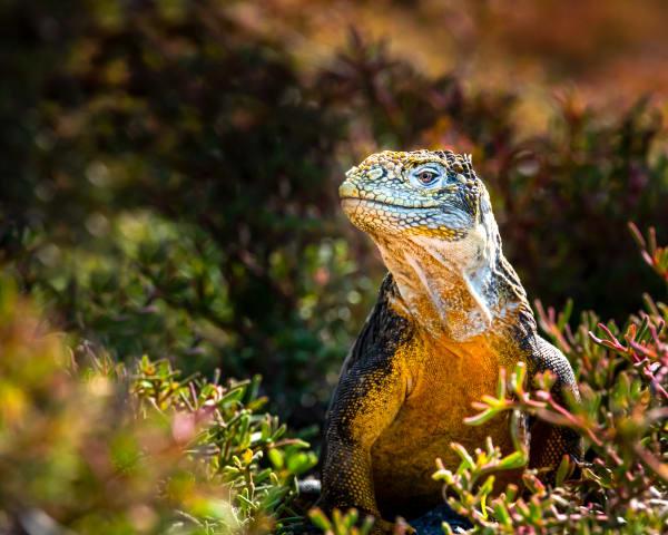 Poised Iguana Photography Art | Rick Vyrostko Photography