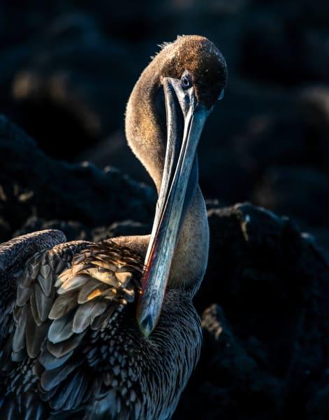 Galapagos Brown Pelican Photography Art | Rick Vyrostko Photography