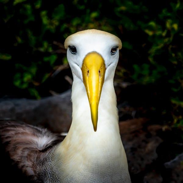 Albatross Portrait Photography Art | Rick Vyrostko Photography