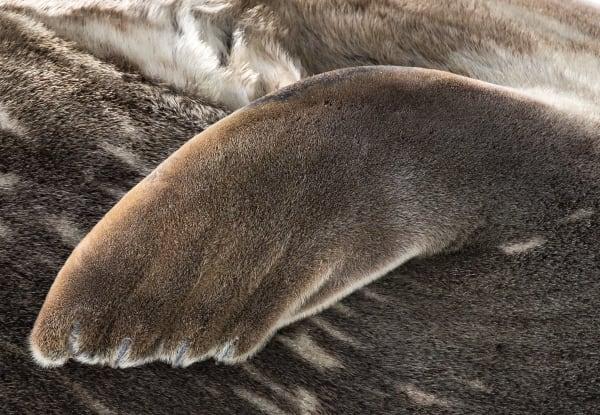Antarctic Fur Seal Paw Photography Art | Rick Vyrostko Photography