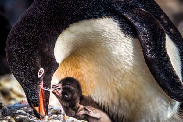 Mother Feeding Her Chicks Photography Art | Rick Vyrostko Photography