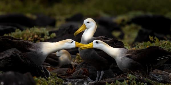 A Touching Albatross Moment Photography Art | Rick Vyrostko Photography