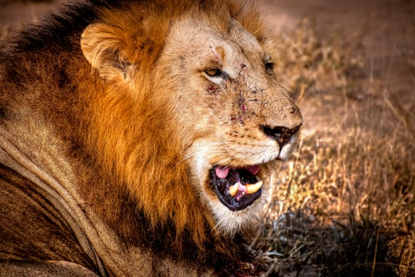 King Of The Jungle   With Scars Photography Art | Rick Vyrostko Photography