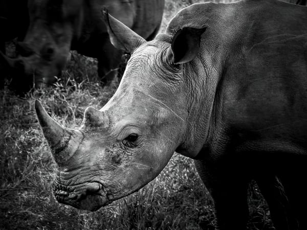 Magnificent Rhino Photography Art | Rick Vyrostko Photography