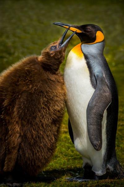 King Penguin Mother & Chick  Photography Art | Rick Vyrostko Photography