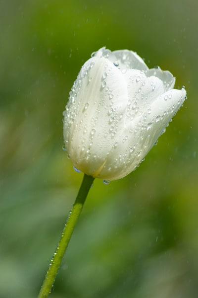 White Tulip Art | karenihirsch