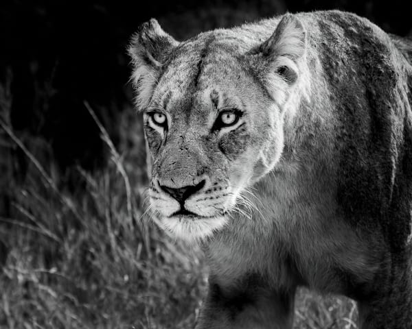 Lion Eyes Photography Art | Rick Vyrostko Photography