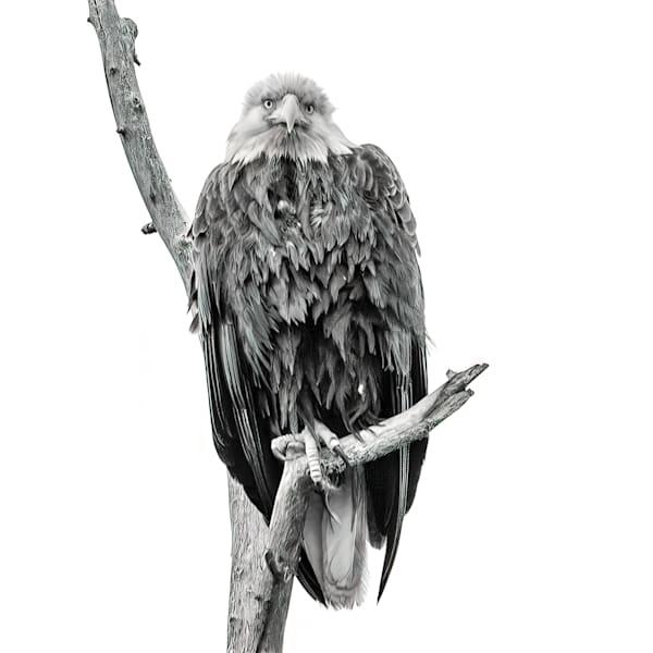 Bald Eagle in B&W Square