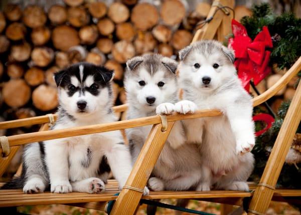 sled dog puppies