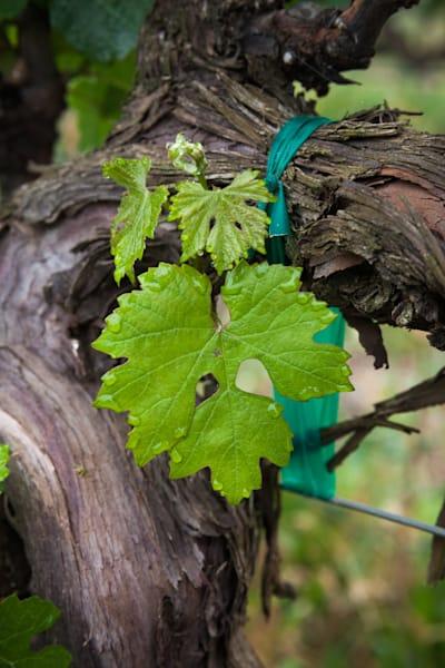 Cabernet Sauvignon grape leaves