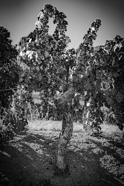 Black and white old vine 1410