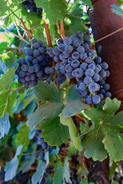 Ripe cabernet grapes