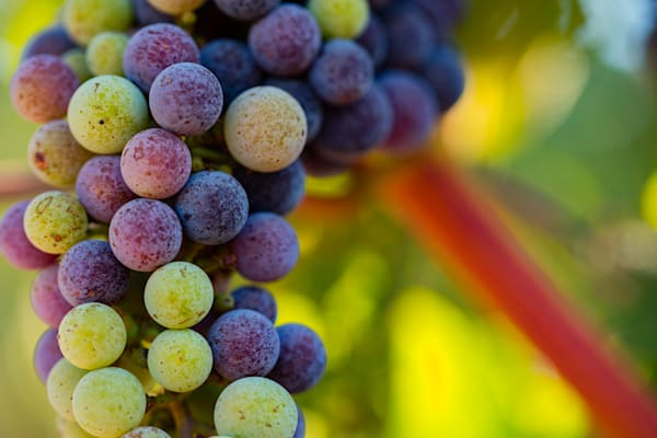 Colorful grapes on the vine