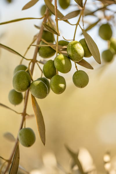 Olive branch with olives