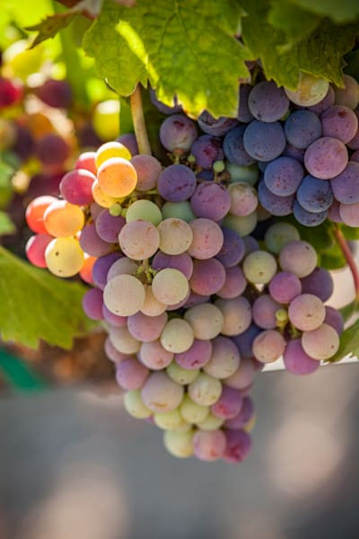 Grape cluster in verasion
