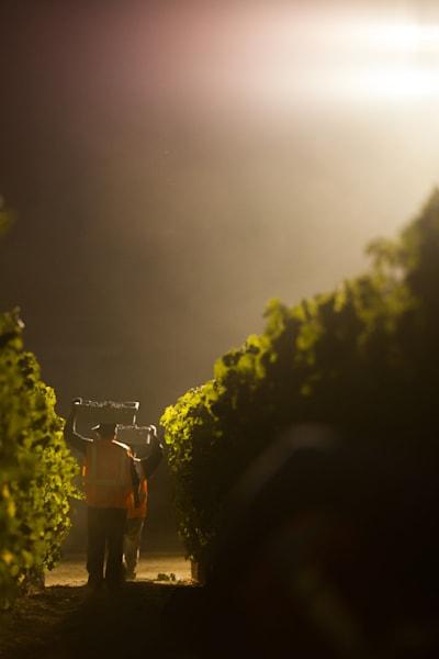 Midnight grape harvest