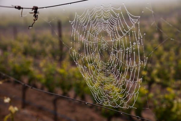 Vineyard spiderweb