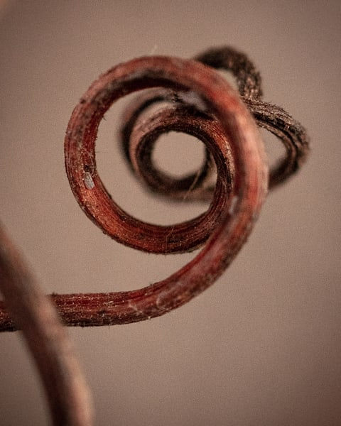 Curly grapevine tendril