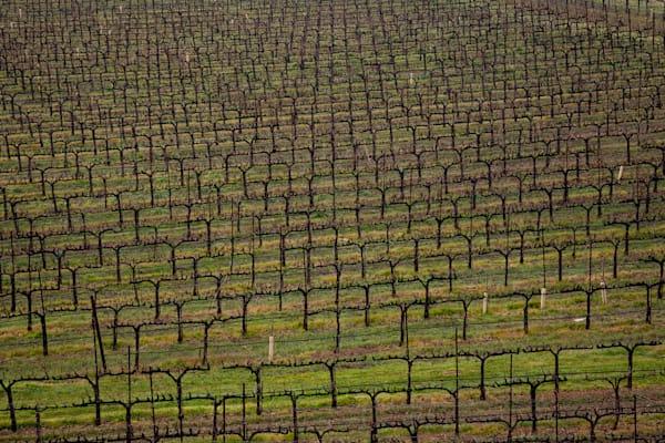 Vineyard in dormancy