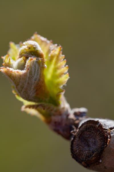 Close-up of grape vine bud break in spring