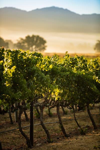 Morning fog over vineyard