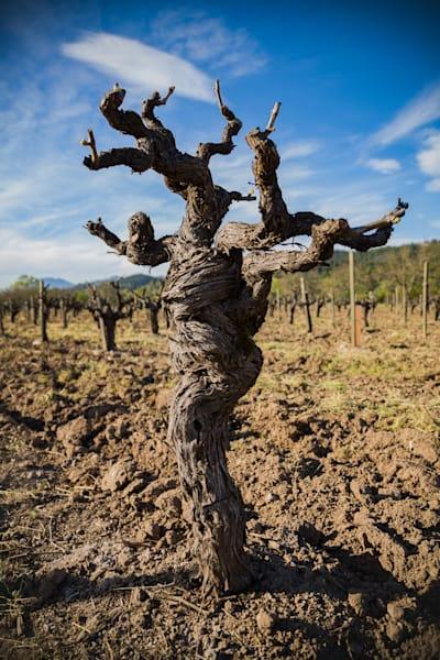 Head pruned old vine