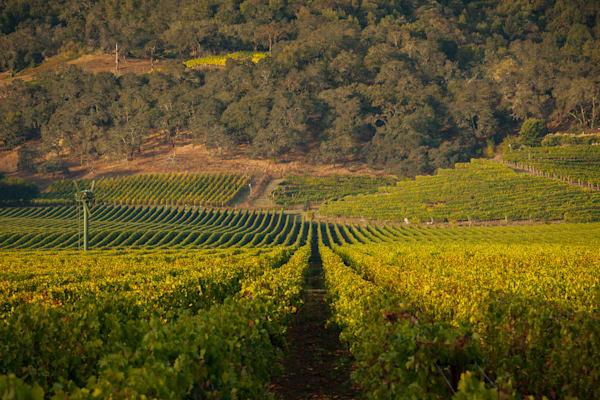 Lush green vineyard