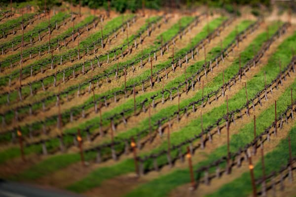 Vineyard in minature