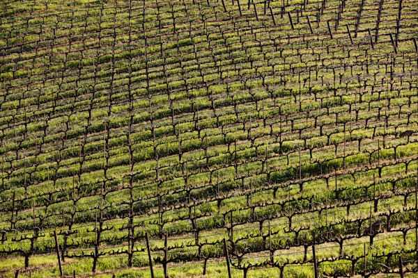 Rolling hills planted with vines