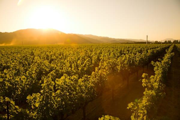 Vineyard golden hour
