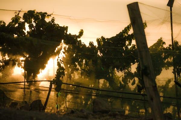 Protecting ripe grapes in vineyard